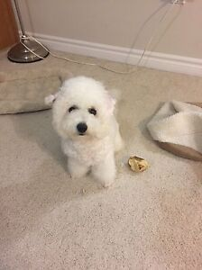 Not available for now!Small Bichon Frise for Rehoming London Ontario image 10