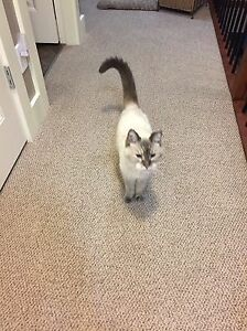 Beautiful Siamese/Himalayan Mix Adult Cat Free to Good Home