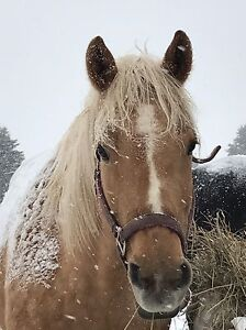 Registered Palomino Mare