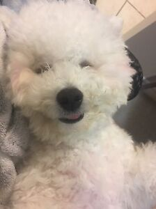 Not available for now!Small Bichon Frise for Rehoming London Ontario image 6