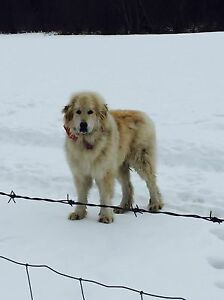 Great Pyrenees Male