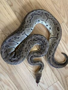 * Male Lemonblast Ball Python *