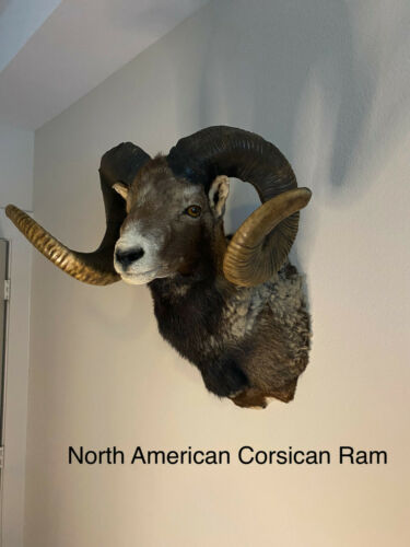 Corsican Ram Sheep Shoulder Mount - Exotic