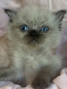 ❤️ Himalayan Kittens for sale! Now taking Applications!❤️
