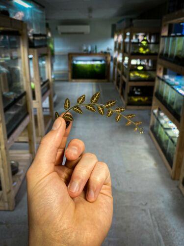 Solanum sp. Ecuador (Rare) - Dart Frog VIVARIUM / Terrarium Plant - Stem Cutting