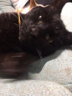 Lost Black Cat - Oxley