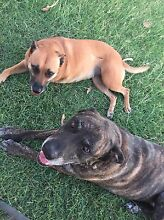 Urgent loving Furever home needed Alice River Townsville Surrounds Preview