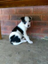 Short haired Border collie puppies Blayney Blayney Area Preview