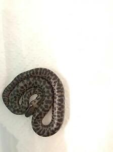Spotted and Stimson python hatchies The Range Rockhampton City Preview