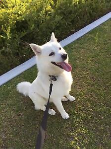 Japanese Spitz X Coogee Cockburn Area Preview