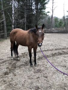 15 year old papered quarter horse mare
