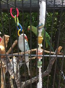 Indian ringneck parrot Greensborough Banyule Area Preview
