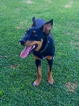 Kelpie X, Female, 5 months old Melville Melville Area Preview