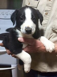 ONE LEFT - Male Border Collie Pup Inverell Inverell Area Preview