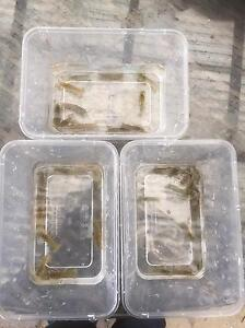 Yabbies ranging from 1cm to 5cm in size Gladstone Park Hume Area Preview