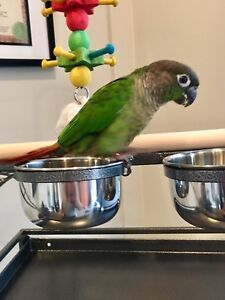 Green Cheek Conure with cage/accessories