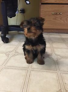 FEMALE YORKIE PUPPY READY TO GO TODAY!