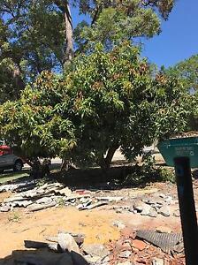 Mango tree High Wycombe Kalamunda Area Preview