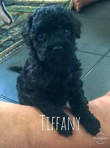Toy Poodle Dogs Puppies Gumtree Australia Free Local Classifieds
