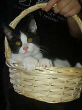 black and white desexed kitten Inala Brisbane South West Preview