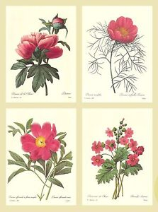 Group of 4 Redoute Botanical Prints - Lot 04j - Pink