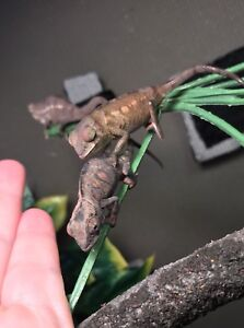 3 beautiful BABY PANTHER CHAMELEONS