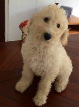 Female Labradoodle Puppy Maleny Caloundra Area Preview