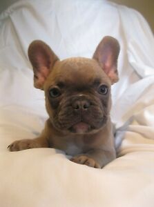 BLUE FAWN AND FAWN FRENCH BULLDOGS