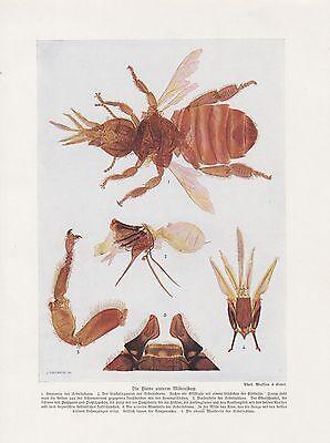 Biene unterm Mikroskop Arbeitsbiene FARBDRUCK von 1912 Giftblase Imkerei