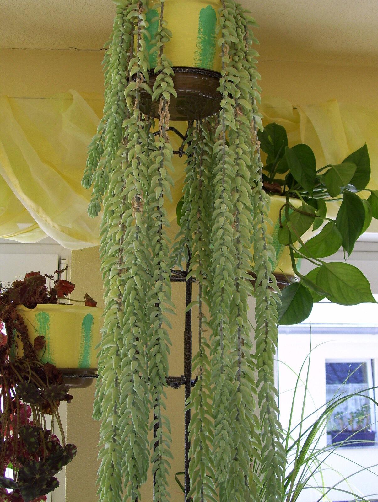 Sedum morganium affenschaukel fetthenne zimmerpflanze 10 - Zimmerpflanze rankend ...