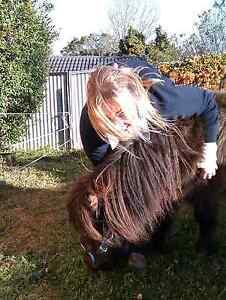 Cute Black mini pony Mare Toowoomba Toowoomba City Preview