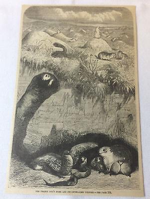 1880 magazine engraving ~ PRAIRIE DOG HOME + Unwelcome Visitors