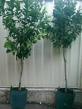 Advanced Eureka Lemon Trees Fruit Plants PERTH From $100 Landsdale Wanneroo Area Preview