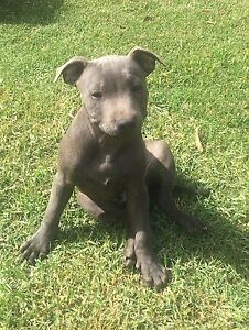 Blue English staffy pups Elizabeth Playford Area Preview