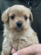 Stunning ruby and apricot toy cavoodle puppies Morisset Lake Macquarie Area Preview