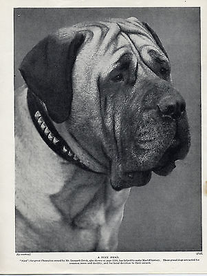 MASTIFF  CHAMPION AJAX GREAT HEAD STUDY IMAGE OLD ORIGINAL DOG PRINT FROM 1934