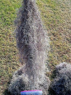 Live Spanish Moss 1 Lb  Total Mail Weight Very Clean Patio Garden Home Decor