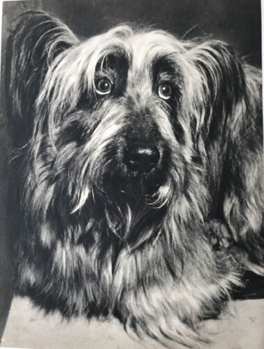 SKYE TERRIER DOG FACE Vintage 75 year-old Full Page Photo Print by YLLA
