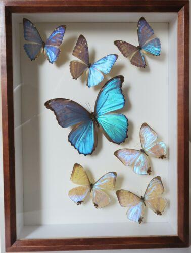 REAL 7 FRAMED PERUVIAN BLUE MORPHO BUTTERFLIES QUALITY HOME INTERIOR DESIGN
