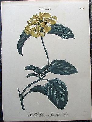 BRANDKRAUT. Pflanzen Botanik. Orig. kolorierter Kupferstich von 1824