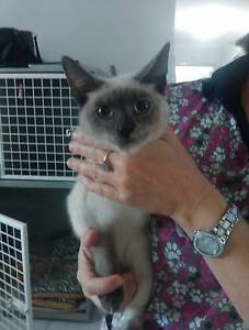 Found young female cat Mount Cotton Redland Area Preview