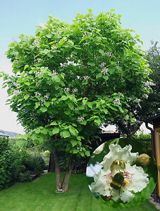 trompetenbaum zigarrenbaum catalpa bignonioides 30. Black Bedroom Furniture Sets. Home Design Ideas