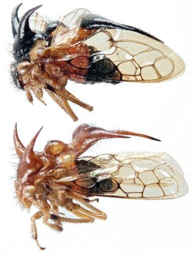 Insect - MEMBRACIDAE Cyphonia andina - C.Peru - Pair(??) 10mm+/- ....!!