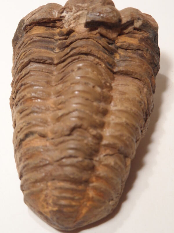 TRILOBITE FOSSIL *FINE CONDITION 500 MILLION YEARS OLD *GREAT In SCHOOL DISPLAY