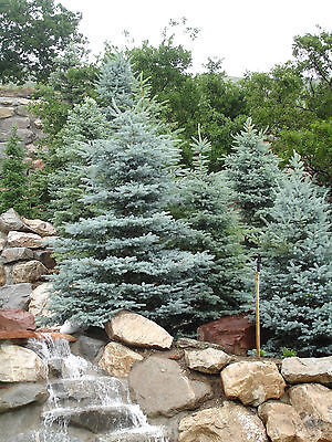 Colorado Blue Spruce, Picea pungens glauca, Tree ...