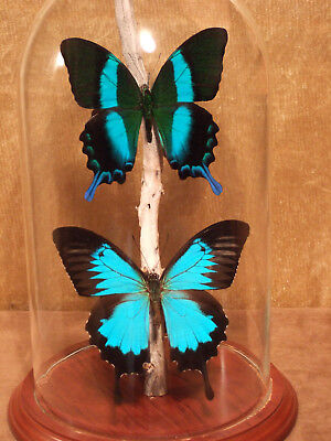 IND04 A+// A Graphium weiskei Beautiful  Papilio