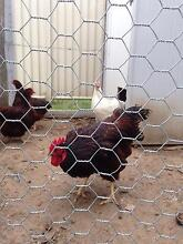 Rhode Island red Tamworth 2340 Tamworth City Preview