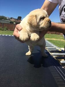 Labrador Pups Wollongong Wollongong Area Preview