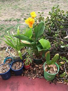 Yellow Canas olive tree seedlings pink white frangi lemon grass Redcliffe Belmont Area Preview