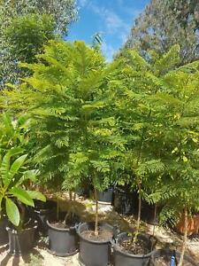 JACARANDA TREES x9 $50 ea